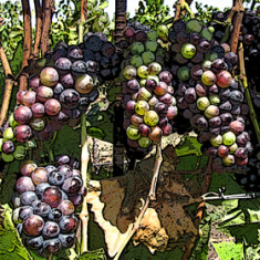 Sta Rita Grapes