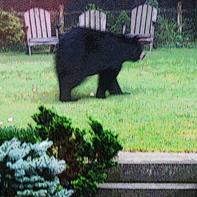 Bear in Backyard