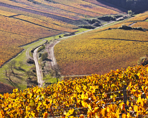 Chardonnay vineyard in Chablis.