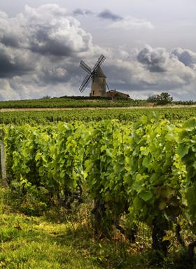 Gamay vineyard in Beaujolais.