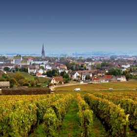 Meursault Chardonnay vineyard.