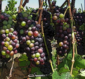 Pinot Noir grapes soften and change color during veraison.