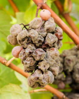 Grapes afflicted with noble rot (botrytis cinerea)